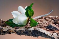 bianco della magnolia del fiore Fotografia Stock Libera da Diritti