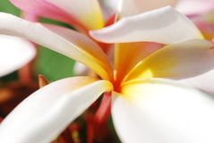 ` Bianco della stella del ` di plumeria rubra Fotografia Stock Libera da Diritti