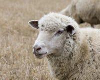 bianco delle pecore Immagini Stock Libere da Diritti