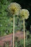 Bianco di allium cepa del capolino Fotografia Stock