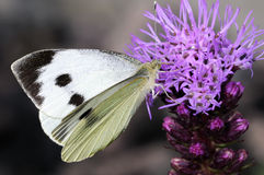 Bianco di cavolo, brassicae del pieris Fotografia Stock Libera da Diritti