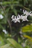Bianco di colore dell'orchidea Immagine Stock