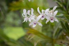 Bianco di colore dell'orchidea Fotografie Stock