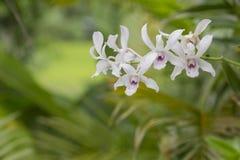 Bianco di colore dell'orchidea Fotografia Stock Libera da Diritti
