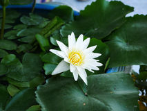 Bianco di Lotus Fotografie Stock Libere da Diritti