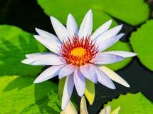 Bianco di Lotus Fotografie Stock