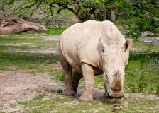bianco di rinoceronte Immagini Stock Libere da Diritti