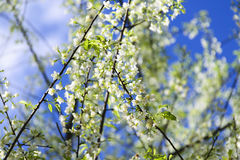 Bianco di Sakura Fotografia Stock