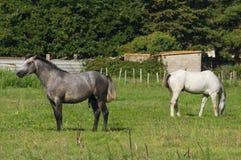 Bianco e cavallo di Brown Camargue Camargue - in Provenza, Francia Immagini Stock