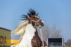 Bianco e cavallo macchiato Brown Immagine Stock