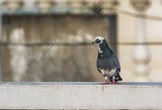 Bianco e Gray Rock Pigeon: Colomba livia immagine stock libera da diritti