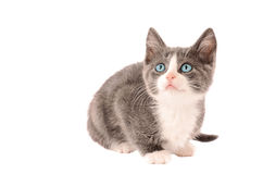 Bianco e Grey Kitten Fotografia Stock Libera da Diritti