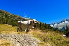 Bianco e mucca di Brown in alta montagna Fotografia Stock