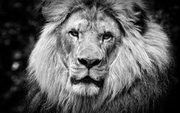 In bianco e nero ad alto contrasto di un fronte africano maschio del leone Fotografia Stock