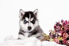 Cane in bianco e nero siberiano del husky con gli occhi azzurri fotografia stock immagine - Husky con occhi diversi ...