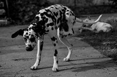 Bianco e nero dalmata del cane immagini stock