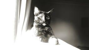 In bianco e nero del gatto Immagine Stock