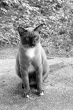 Bianco e nero del gatto siamese Fotografia Stock