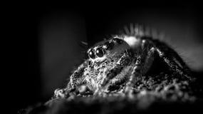 in bianco e nero del ragno di salto immagini stock libere da diritti