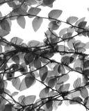 In bianco e nero dell'edera Immagini Stock Libere da Diritti