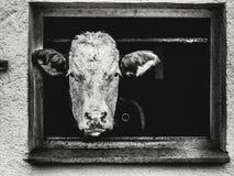 In bianco e nero della mucca che guarda da una finestra Immagine Stock Libera da Diritti