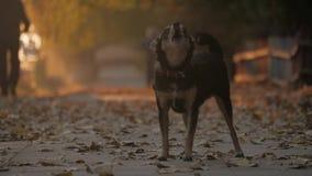 In bianco e nero disattivi il cane che scorteccia come cane della via archivi video