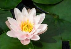 Bianco e rosa con il centro giallo del loto circondato dalle piante acquatiche fotografia stock libera da diritti