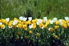 Bianco e ywllow del tulipano Fotografia Stock Libera da Diritti