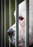Bianco ed il naso del cane fra le griglie Fotografie Stock Libere da Diritti
