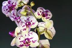 Bianco ed orchidea di fioritura porpora Fotografia Stock Libera da Diritti