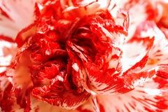 Bianco esotico e macro rossa del garofano di Borgogna fotografia stock