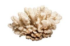 Bianco isolato corallo Fotografia Stock Libera da Diritti