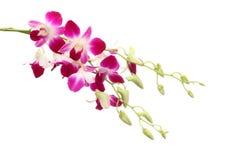 Bianco isolato fiore porpora dell'orchidea Immagini Stock