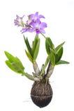 Bianco isolato orchidea porpora Fotografie Stock