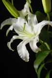 Bianco lilly Immagini Stock Libere da Diritti