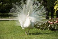 bianco maschio del pavone Fotografie Stock Libere da Diritti