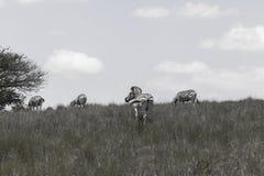 Bianco nero delle zebre Immagini Stock Libere da Diritti