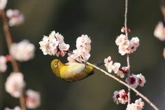 Bianco-occhio giapponese Fotografia Stock
