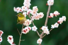 Bianco-occhio giapponese Fotografie Stock Libere da Diritti