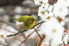 Bianco-occhio giapponese in Prunus Mume Immagini Stock Libere da Diritti