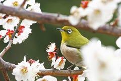 Bianco-occhio giapponese in Prunus Mume Immagini Stock