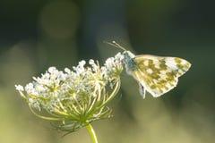 Bianco orientale del bagno, edusa di Pontia, farfalla Immagine Stock Libera da Diritti