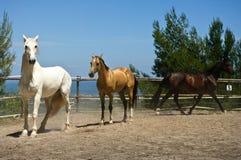 Bianco, oro e cavallo marrone sul ranch spagnolo Fotografia Stock