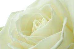 Bianco panna è aumentato Fotografia Stock Libera da Diritti
