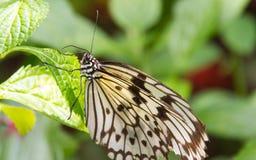 Bianco, & primo piano della farfalla di Brown fotografie stock