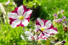 Bianco rosa scuro della petunia Immagini Stock Libere da Diritti