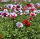 bianco rosso del fiore del campo Fotografia Stock Libera da Diritti