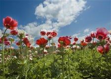 bianco rosso del fiore del campo Fotografia Stock