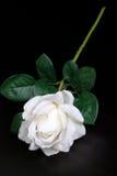 Bianco scelga di rosa Fotografia Stock