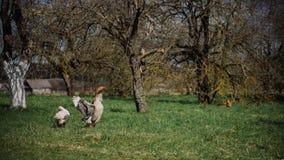 Bianco selvaggio e oche selvatiche nel villaggio Oca domestica del cortile Immagine Stock Libera da Diritti